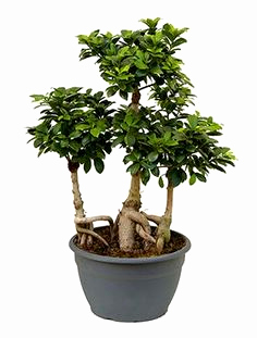 Bonsai Ficus Ginseng Pflege Best Ginseng Baum File Ficus Sp Bonsai Krohn Dsc Jpg with Ginseng Baum